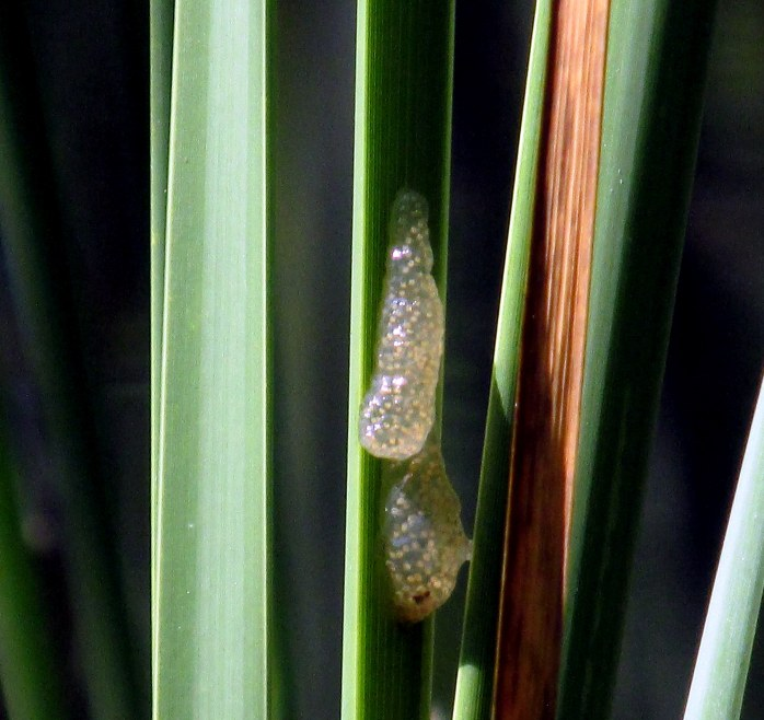 caddisfly eggs on cattail