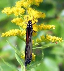 monarchbutterflygoldenrodcloseaerialkhnp3sept2016
