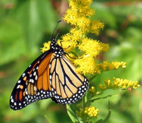 monarchbutterflygoldenrodclosewingsckhnp3sept2016