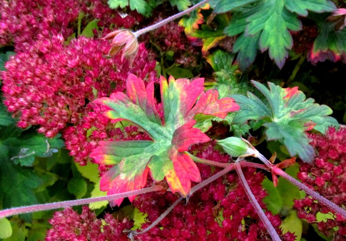 'Autumn Joy' sedum blooms and 'Rozanne' geranium foliage