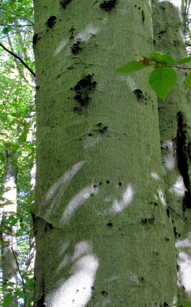 bear claw marks on a beech tree