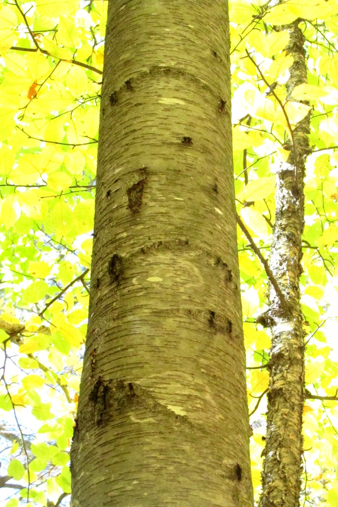 beech tree with bear claw marks, Webb Forest Trail, 14 October