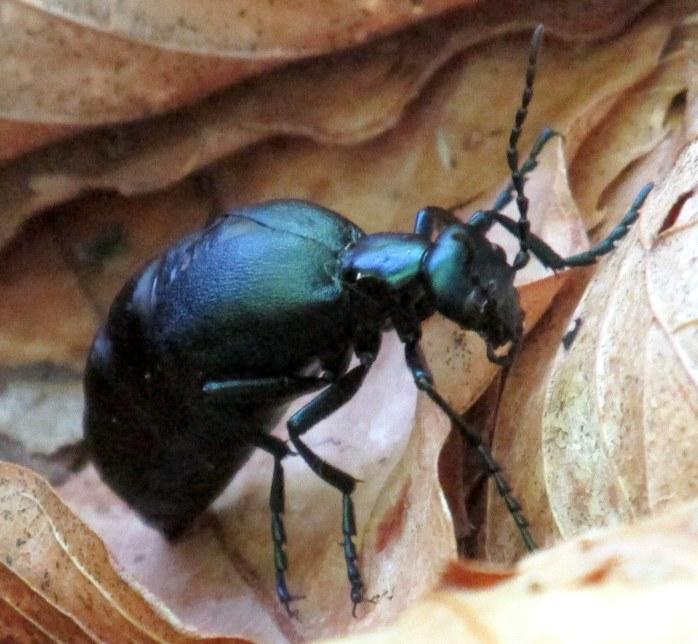 oil beetle on leaf