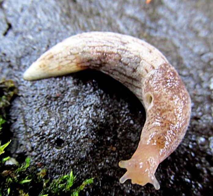 beige slug with obvious pneumostome, Oct. 2015