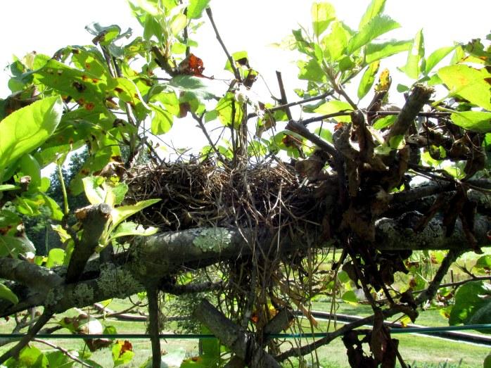 bird's nest in Belgian espalier fence