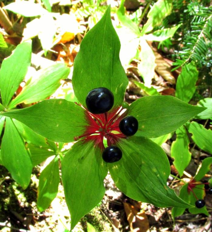 black berries of Indian cucumber root
