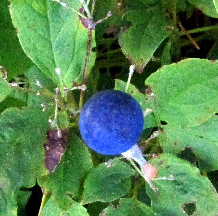 closer view: blue berry on Caulophyllum thalictroides (Blue Cohosh)