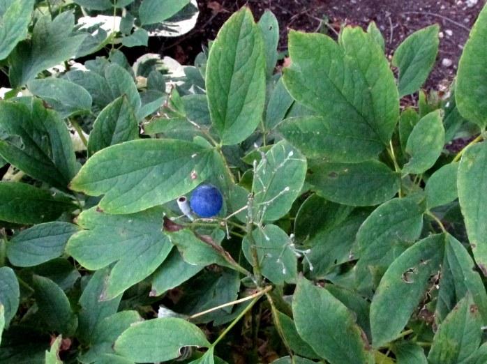 blue berry on Caulophyllum thalictroides (Blue Cohosh)