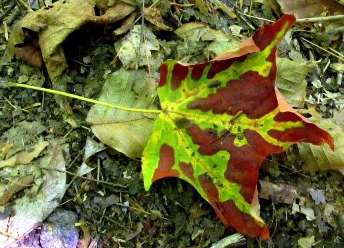 maple leaf turning
