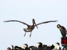 brownpelicanlandingtocrowdofcormorantsbridgepilingsji26dec2013