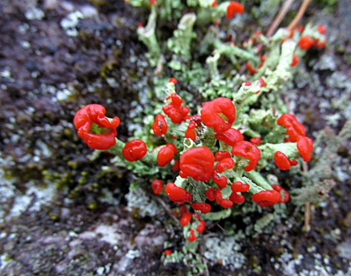 Cladonia cristatella (British soldiers) lichen, in my NH yard, Oct. 2015