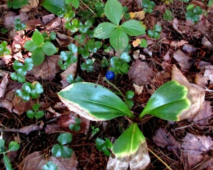 Clintonia borealis (blue-bead lily)