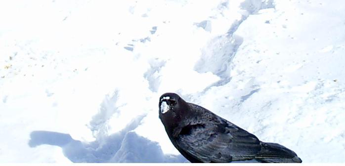 crow on field of snow, one breath lifting inside, March 2015