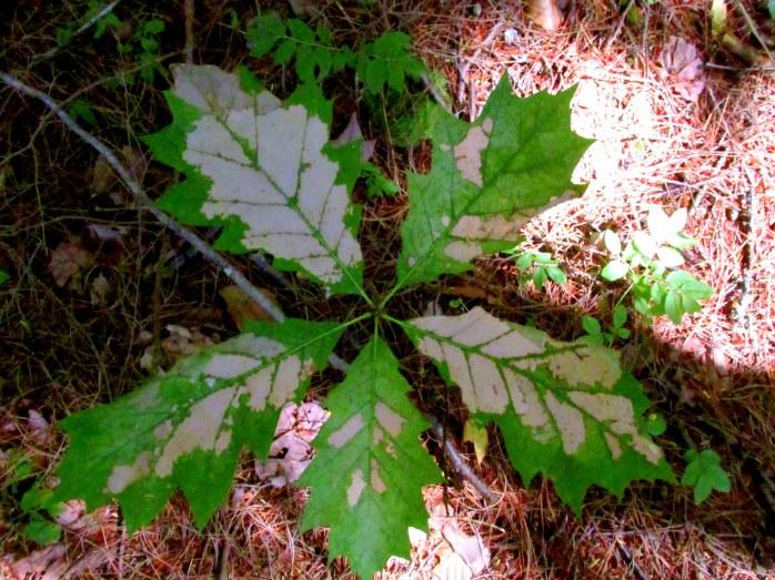 damaged red oak leaves