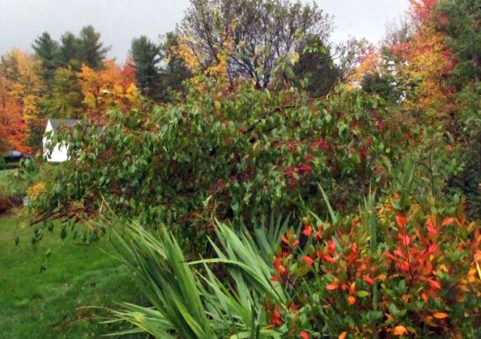 Olga Mezitt' rhododendron, weeping 'Jade' crabapple, 13 October