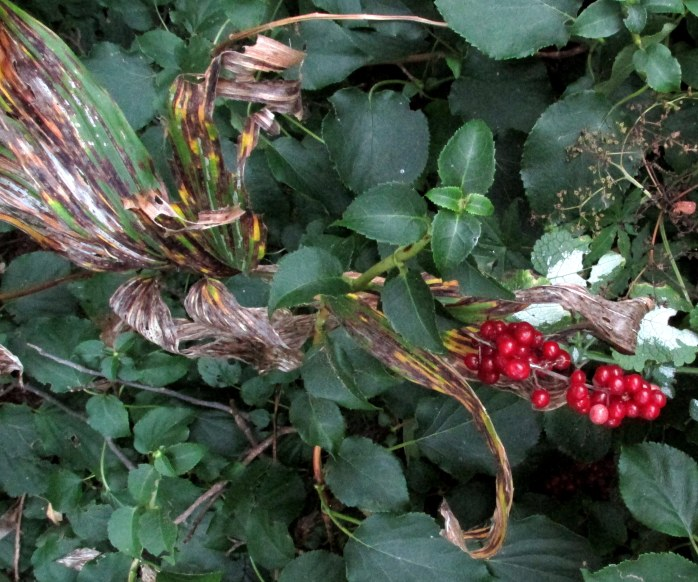 false Solomon's Seal with red berries