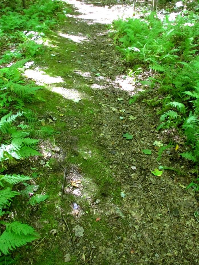 ferns along trail