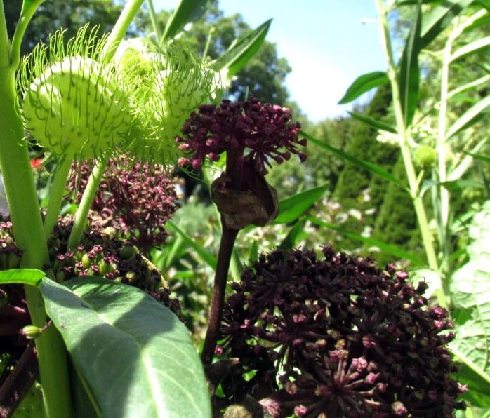 Angelica (purple) and Gomphocarpus physocarpus (hairy balls)