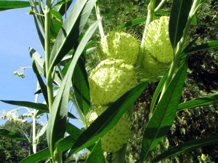 Gomphocarpus physocarpus (hairy balls)