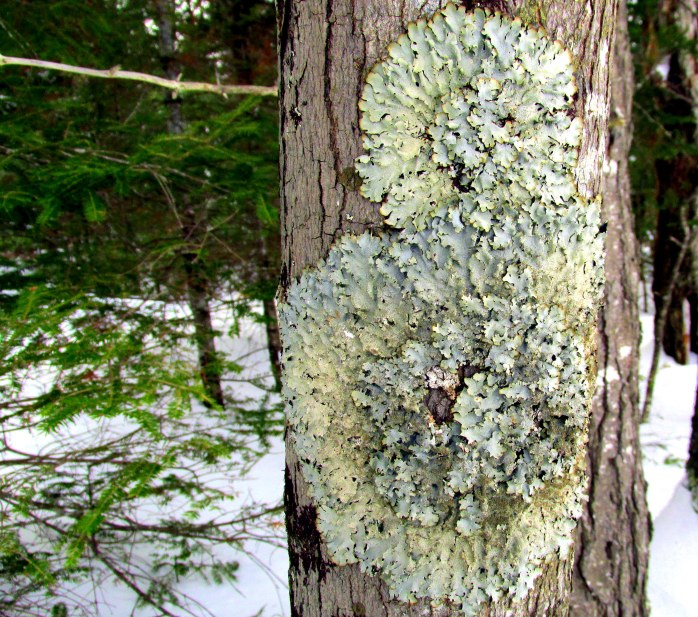 lichen circle, Clark Pond Trail, Feb. 2015