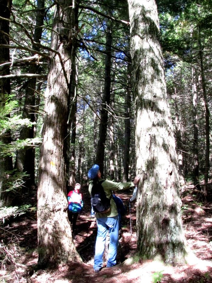 hemlock and maple trees