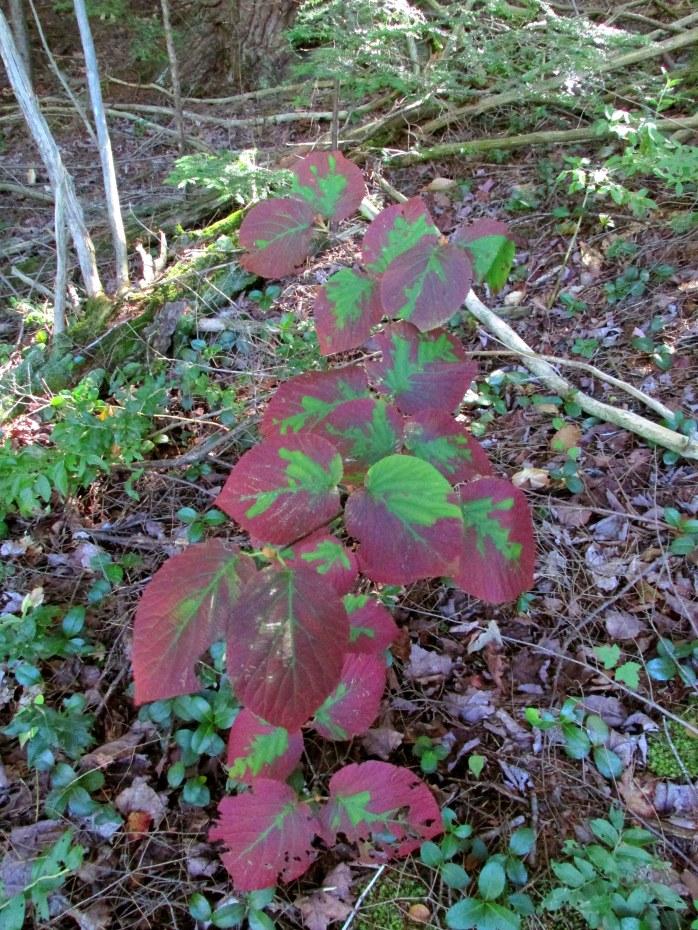 fall hobblebush leaves
