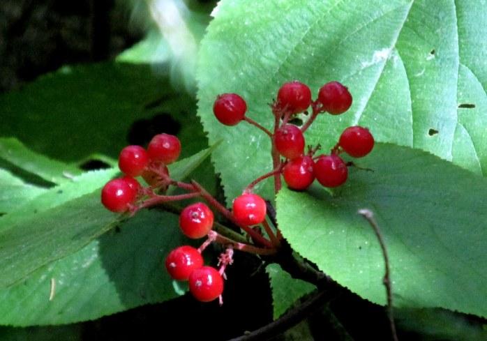 berries on hobblebush