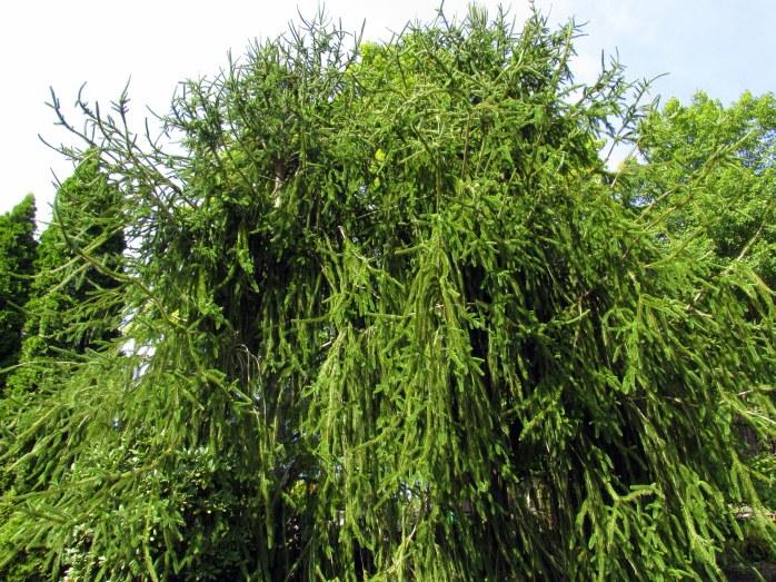 huge weeping spruce tree