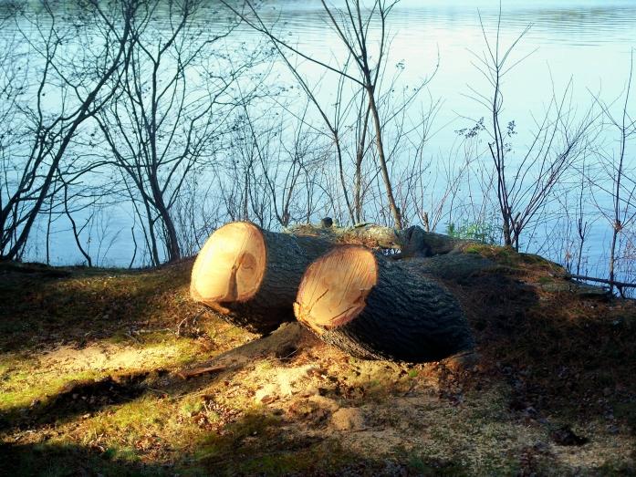 Twin tree stumps, Nov. 2012