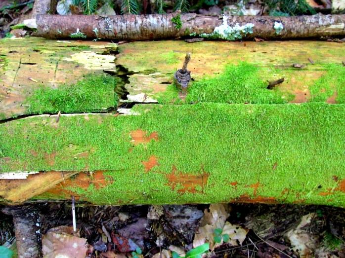 moss on log