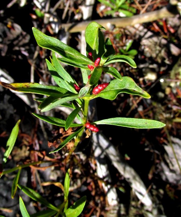 Lysimachia terrestris (aka swamp candles aka yellow loosestrife)