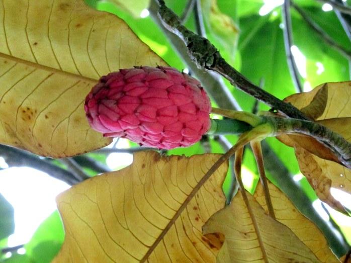 Magnolia tripetal tree seedpod