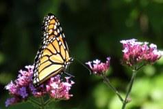 monarchbutterflypurpleflowerbedrockgarden17sept2016