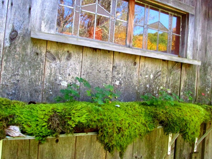 moss shelf, weathered shed - Cider Hill Gardens, VT, Oct. 2016