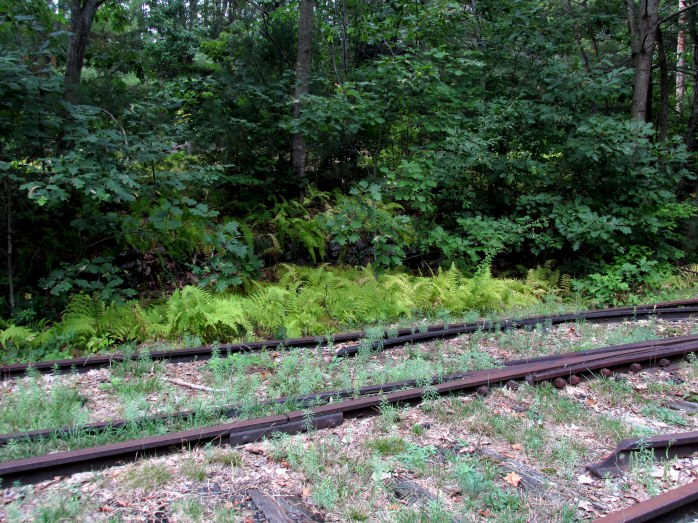 old railroad track with ferns, Andover, NH, Sept 2015