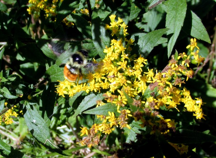 orange-belted bumblebee on goldenrod