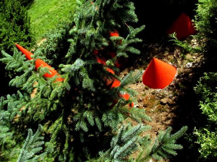 orangeconesspruceconetownbedrockgarden17sept2016