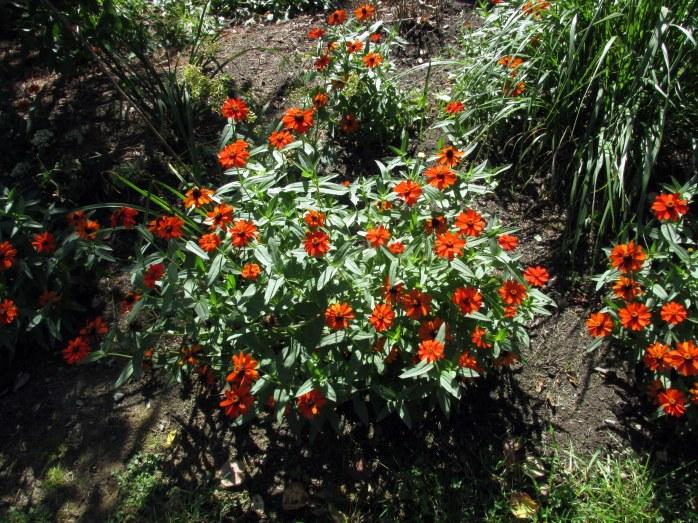 orangezinniasbedrockgarden17sept2016