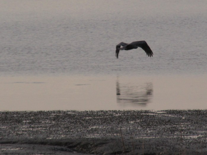 pelicanoverjekyllcreek430pmjekyll25dec2015
