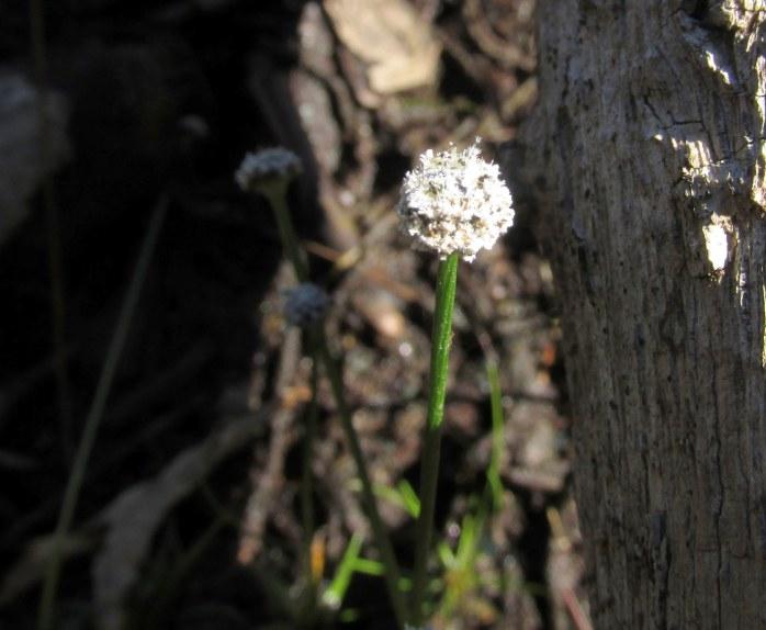 tiny little pipewort (Eriocaulon), an aquatic plant