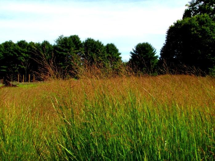 redgrassesgrassacrebedrockgarden17sept2016