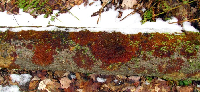 red lichen on log, Clark Pond Trail, NH, April 2016