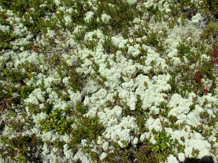 reindeer lichen, Ocean Point Preserve, Boothbay, ME, May 2014