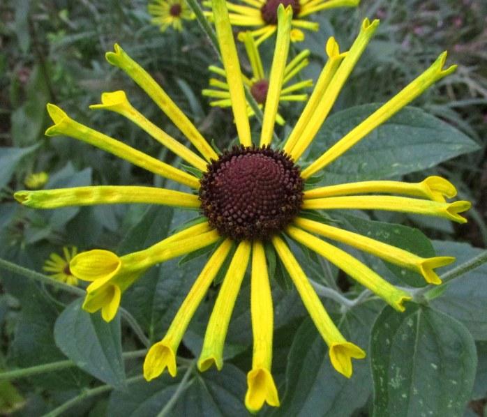 closer view of Rudbeckia subtomentosa 'Henry Eilers'