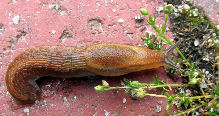 slug on the front walkway, July 2015