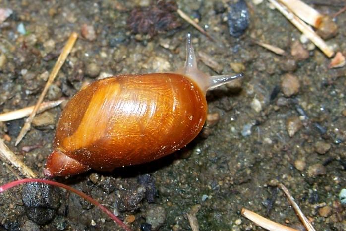 snail in the herb garden, Aug. 2011