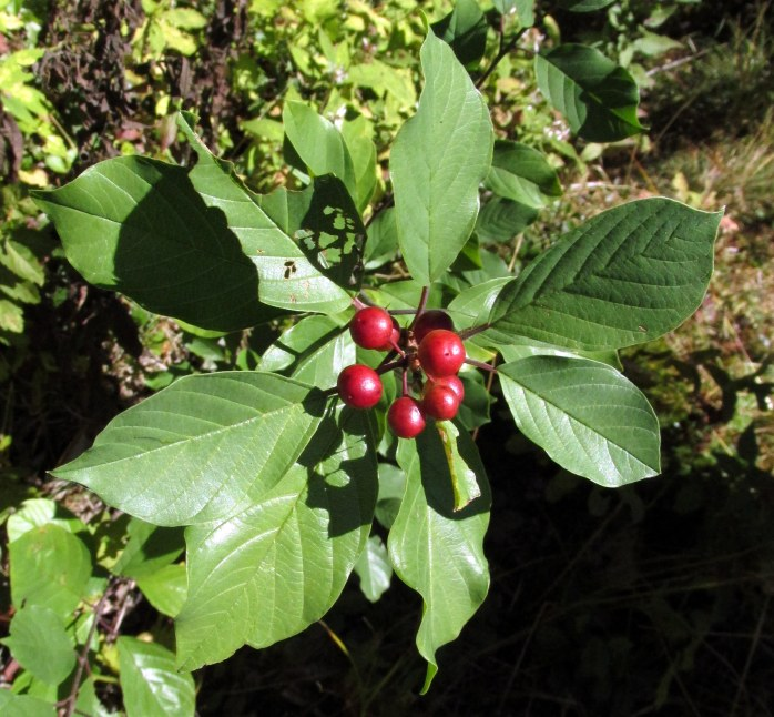 a winterberry