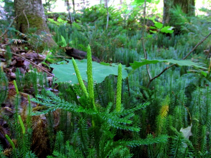 fairy land of club moss (lycopodium) with strobili
