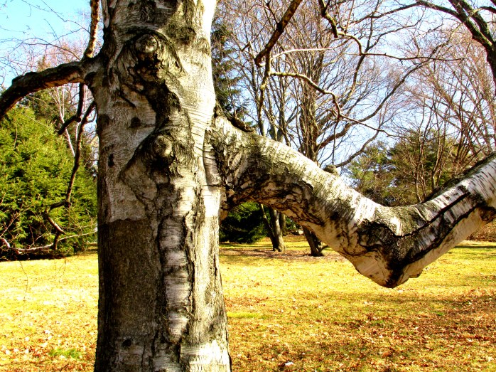 treebarktrunkarmelbowbircharnoldarboretumjamaicaplainboston20feb2016