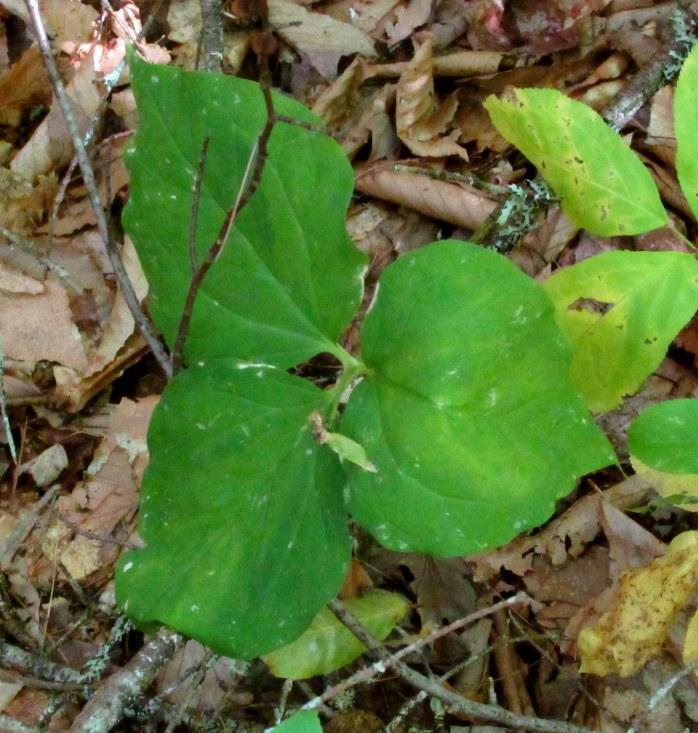 trillium leaves